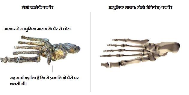 नालेदी मानव और आधुनिक मानव पैर