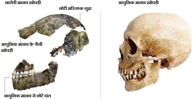 नालेदी मानव और आधुनिक मानव खोपड़ी