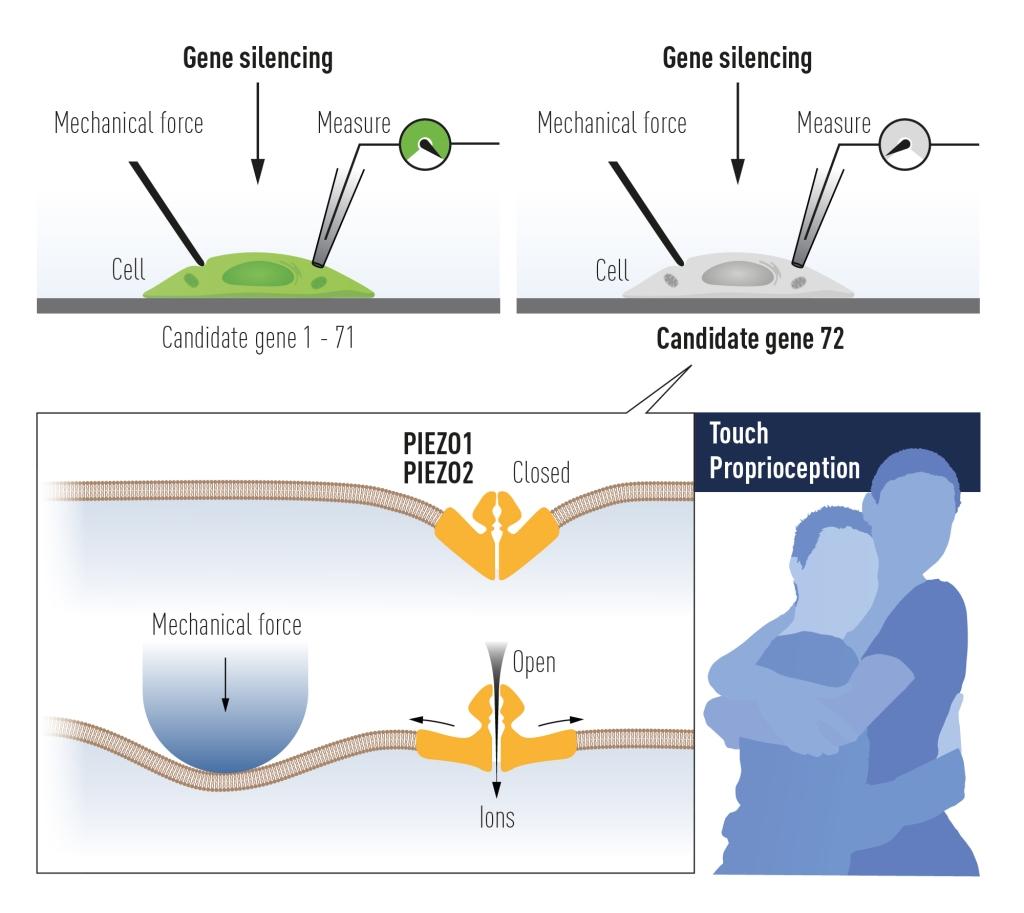पेटापुटीन ने यांत्रिक दबाव मे सक्रिय होने वाले Piezo1 को खोज निकाला , इसके पश्चात Piezo2 भी खोजा गया।